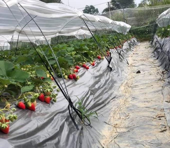Sau nhiều lần thử nghiệm, Đoàn Thu Trà đã lựa chọn được giống dâu tây Hàn và dâu Nhật để trồng tại trang trại ở Đà Quận, Cao Bằng. Cây cho trái sau và mùa thu hoạch kéo dài. Ảnh: nhân vật cung cấp.