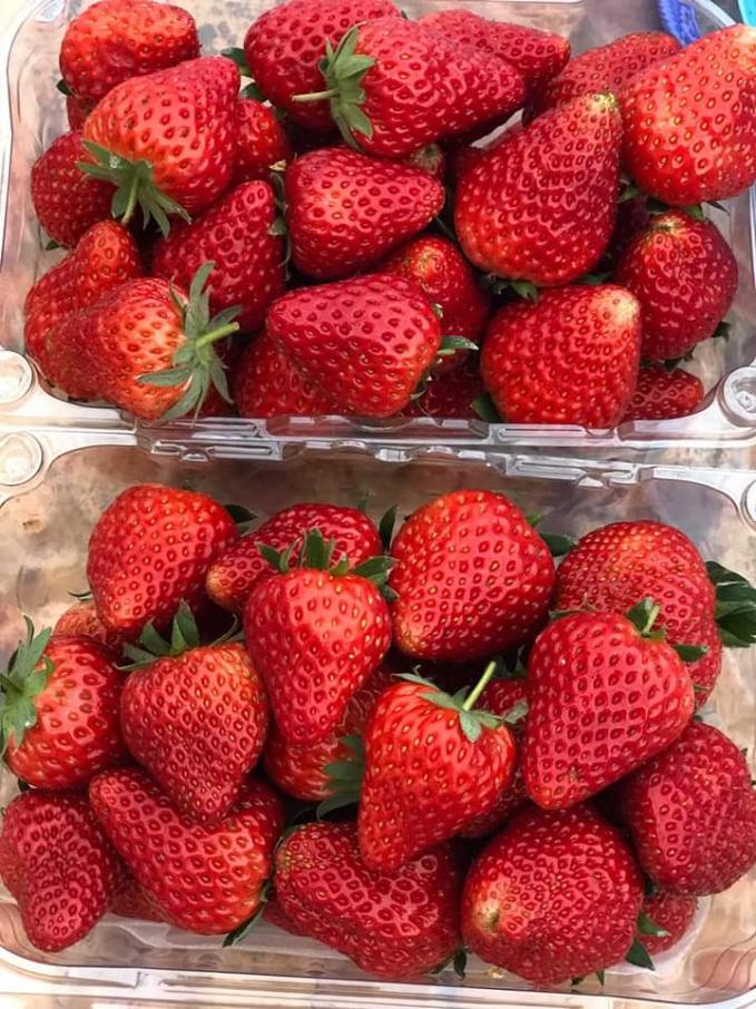 Những trái dâu chín ngọt được trồng theo hướng hữu cơ sinh học tại trang trại của chị Đoàn Thu Trà sắp tới sẽ được bày bán tại một số siêu thị như Big C, Lotte. Ảnh: nhân vật cung cấp.