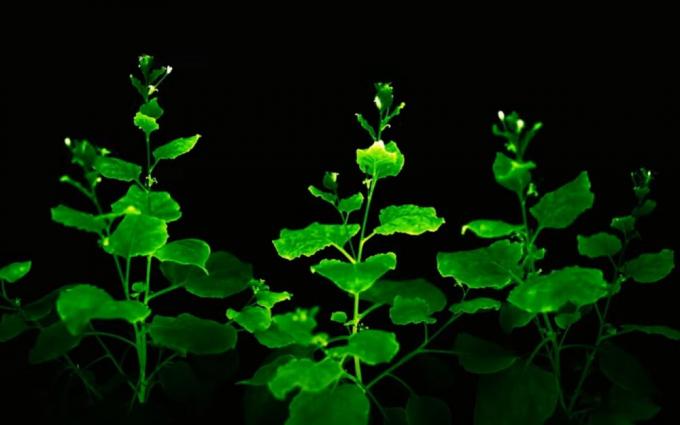 Nguồn sáng này không đủ mạnh để đọc sách trong đêm, nhưng giúpgiới khoa học tìm hiểu thêm về phản ứng của cây trồng với tự nhiên. Nguồn: khampha.vn