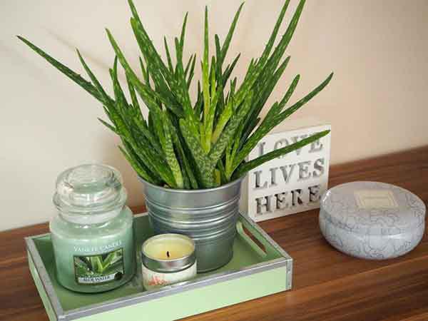 Nên đặt cây nha đam ở phòng ngủ hay phòng tắm sẽ giúp thanh lọc không khí và tạo điểm nhấn xanh mát. Nguồn: noithataeros.vn