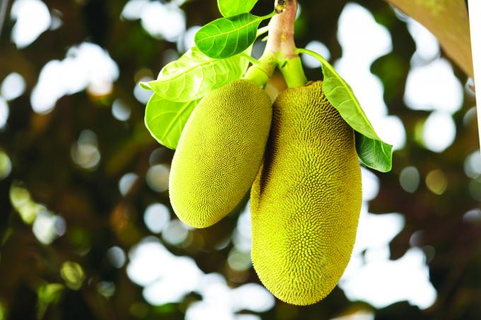 Không có dái mít thì chẳng bao giờ cây sinh ra những trái mít lúc lỉu, bám vào cành vào gốc như lợn con bú mẹ.