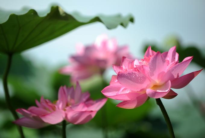 Màu xanh của lá, hồng của hoa, vàng của nhuỵ tạo nên vẻ đẹp mộc mạc, bình dị mà chẳng thể lẫn.