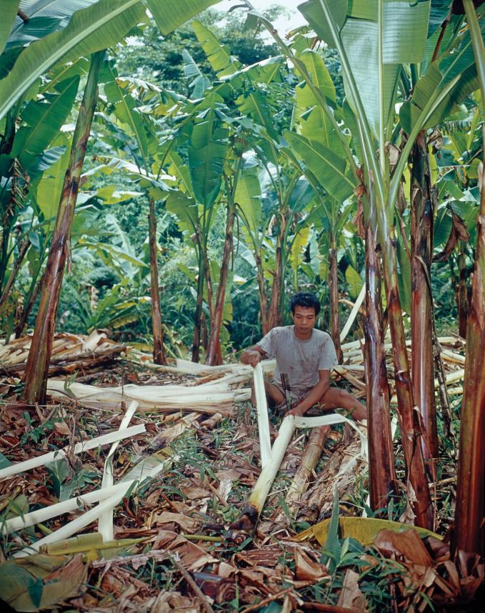 Một người dân đang tách vỏ cây Abaca