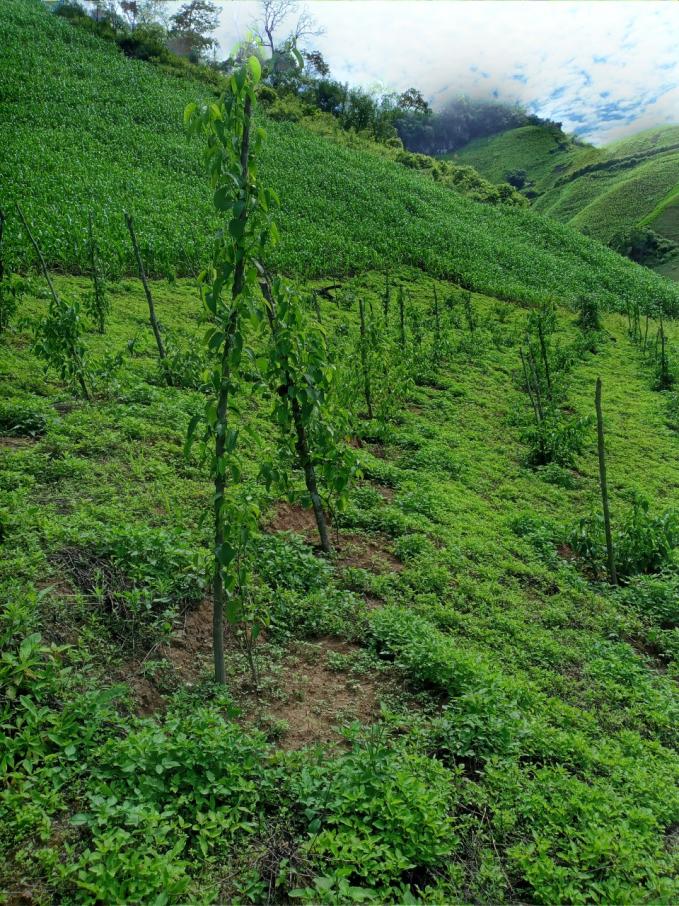 Mô hình trồng ngô lai trên đất dốc và sachi tại Bản Cang, xã Chiềng Khừa, huyện Mộc Châu, tỉnh Sơn La.