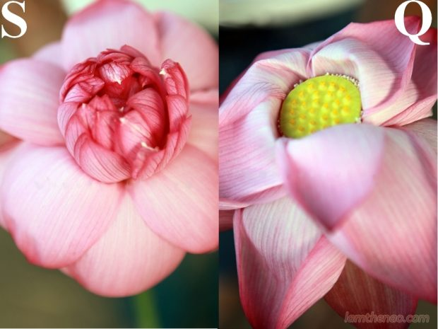 Cách phân biệt hoa sen và sen quỳ người tiêu dùng nên biết khi nở, sen quỳ có rất ít cánh (ảnh trái) và hoa sen có nhiều tầng lớp cánh (bên phải).