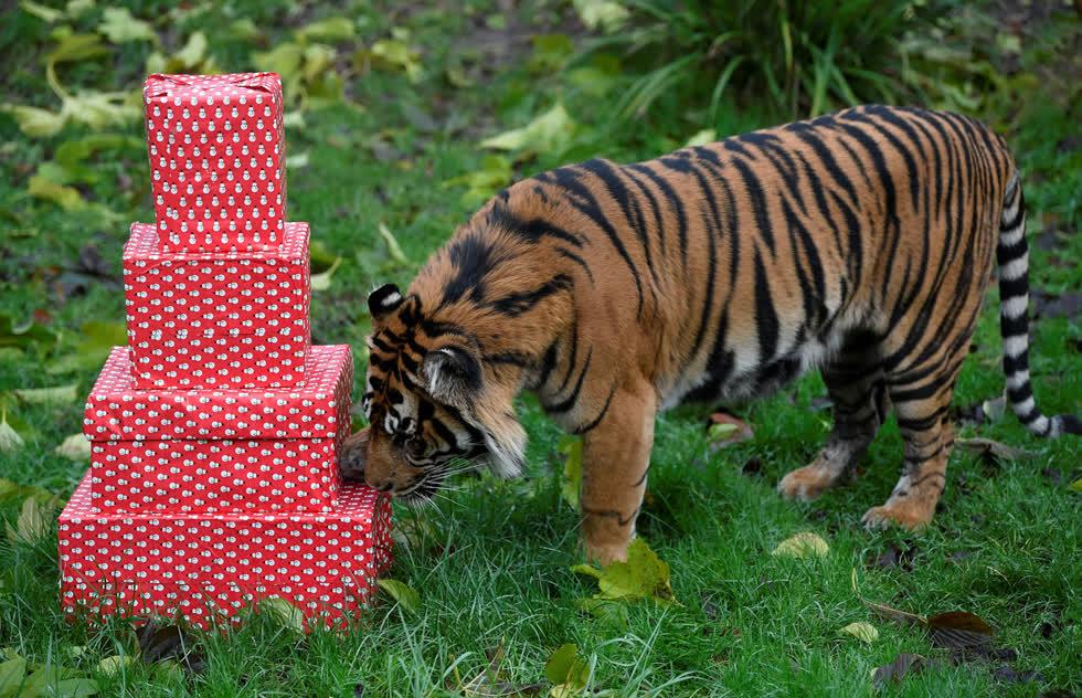 Asim, một con hổ Sumatra, ngửi mùi thức ăn được đặt trong các hộp Giáng sinh tại Sở thú London ở London, Anh, vào ngày 16/12. Ảnh:Reuters.