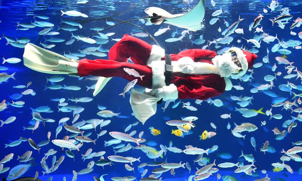 Một thợ lặn mặc đồ ông già Noel bơi cùng cá tại Thủy cung Ánh Dương ở Tokyo vào ngày 13/12. Ảnh:AFP / Getty.
