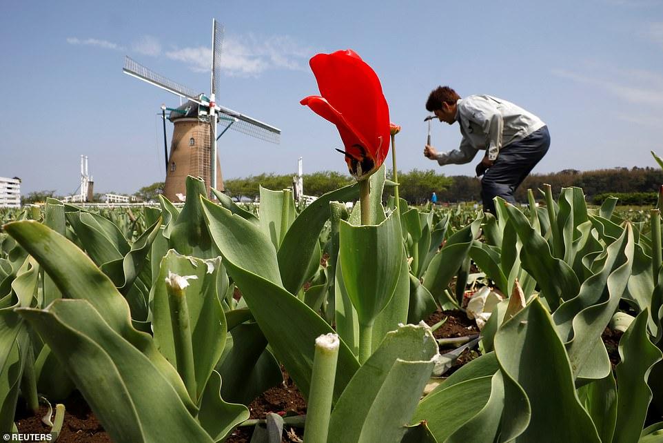 Một công nhân tháo dỡ một lối đi trên một cánh đồng ở quảng trường Sakura Furusato, thường là một điểm thu hút khách du lịch.