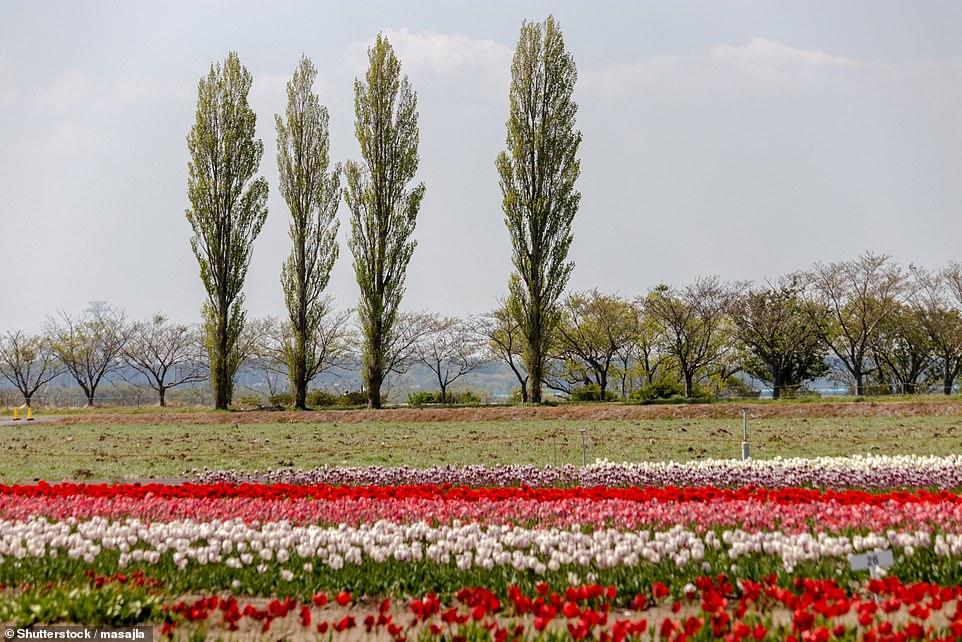 Cánh đồng hoa tulip rộng 7.000 m2, thường thu hút tới hơn 10.000 du khách ghé thăm mỗi năm vào tháng 4, mùa hoa nở.