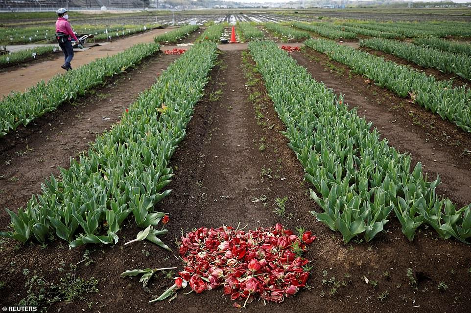 Những bông hoa cắt bỏ ngay tại ruộng.