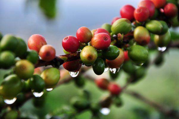Giá cà phê Robusta giữ xu hướng tăng