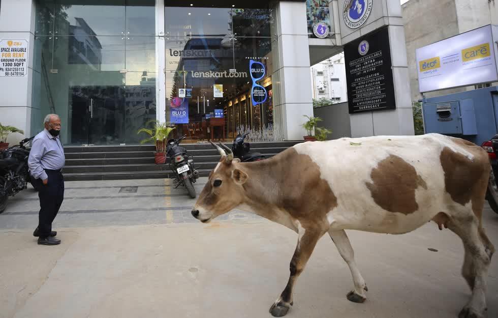 Một con bò đi ngang qua một cửa hàng trống, nơi có một thương hiệu trang sức nổi tiếng trước khi nơi này bị bỏ trống trong thời gian gần đây ở Bengaluru, Ấn Độ. Ảnh: AP
