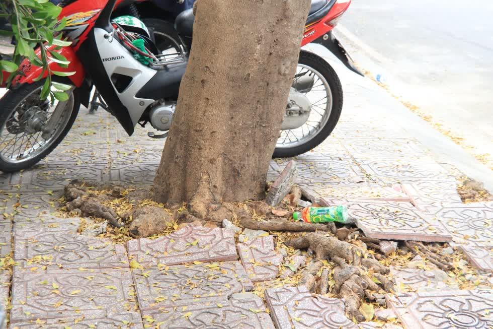 Nhiều cây có hệ rễ xâm hại các công trình như vỉa hè, móng nhà, hệ thống cấp thoát nước.Ảnh: Tri Thức
