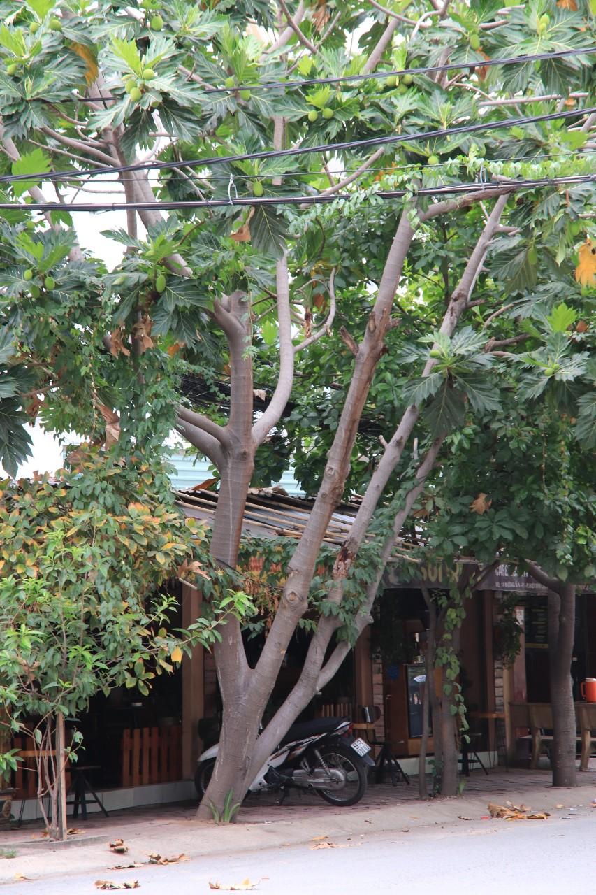 Sa kê là câythân gỗ lớn, chiều cao có thể 20-30 mét, đường kính thân cây trưởng thành 0,6 -1,8 mét. Trong ảnh, mộtcây sa kê vươn cao qua các đường dây điện, dây cáp quang, thế cây nghiêng hẳn ra đường nguy cơ gãy đổ khá cao trong mùa mưa bão.Ảnh: Tri Thức