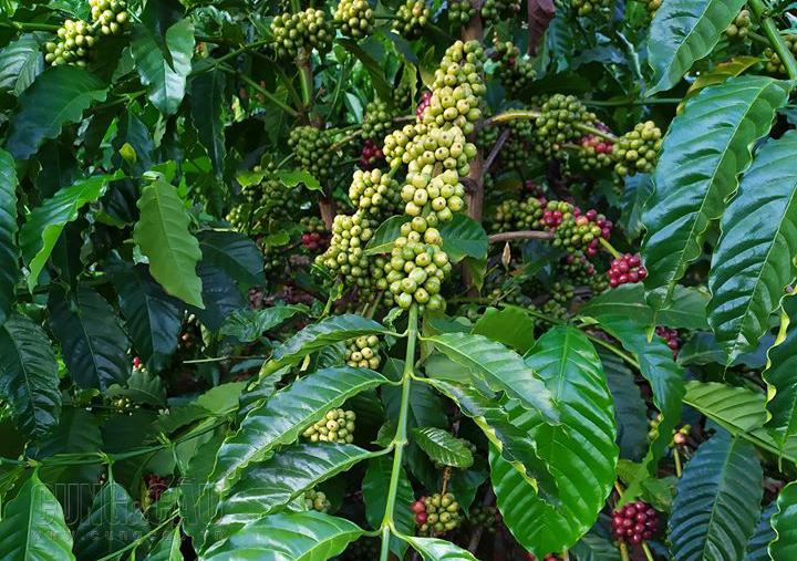 Giá cà phê thế giới tăng, cà phê trong nước giảm