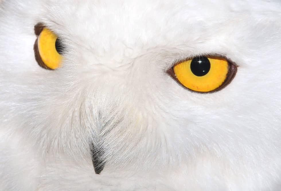 Một con cú tuyết với đôi mắt màu vàng được chụp tại sở thú Straubing ở Đức.Ảnh: EPA.