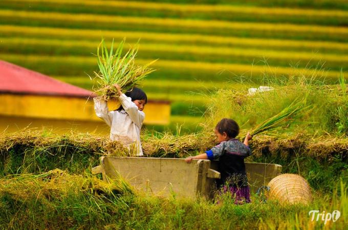 Người dân tộc H'Mông thu hoạch lúa rất khác với kiểu thu hoạch ở miền xuôi. Khi cắt lúa chín, họ không dùng liềm mà dùng dao nhỏ dài khoảng 20cm. Bằng đôi tay nhanh thoăn thoắt, họ cắt khoảng năm bông lúa một lần rồi rải trên mặt ruộng chứ không bó. Một chiếc thùng gỗ to được kéo vào ruộng để đập lúa. Già trẻ gái trai, ai ai cũng chung tay phụ giúp. Họ vừa đập lúa, vừa rôm rả trò chuyện bên triền núi.