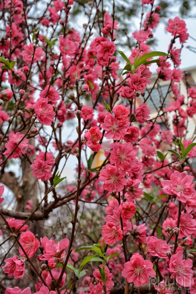 Đào bích nở rộ trổ bông rất đều, báo hiệu một mùa xuân mới sắp sang