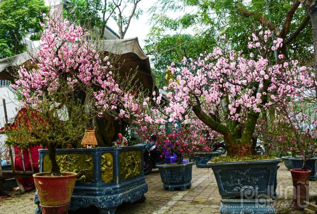 Nhiều cây đào cổ thụ đẹp nhất được đembày bán