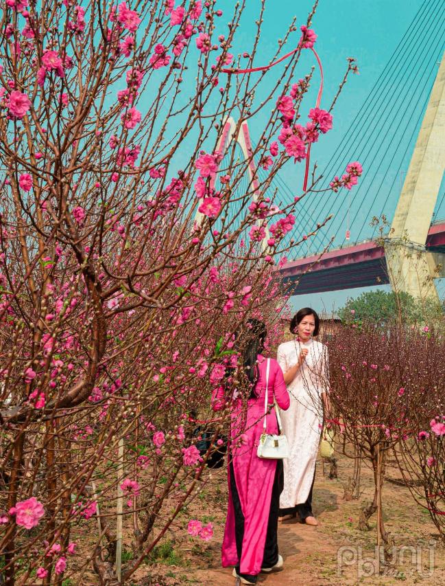 Du khách đến chụp ảnh kỉ niệm tại vườn đào mỗi dịp Tết đến xuân về