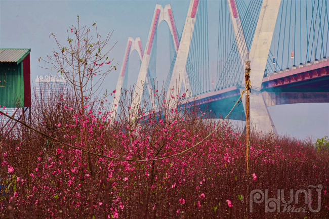 Các cánh đồng hoa bắt đầu nở rộ, sắc hồng của những cánh hoa đào làm cho không gian thêm đầm ấm