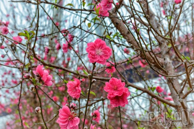 Tết Nguyên đán năm nay thời tiết ấm áp, không quá lạnh khiến hoa đào bung nở đúng vụ vô cùng rực rỡ