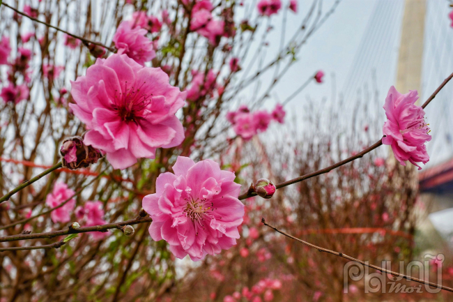 Vườn đào Nhật Tân bừng nở rực rỡ, tạm xua đi những âu lo về dịch bệnh covid-19