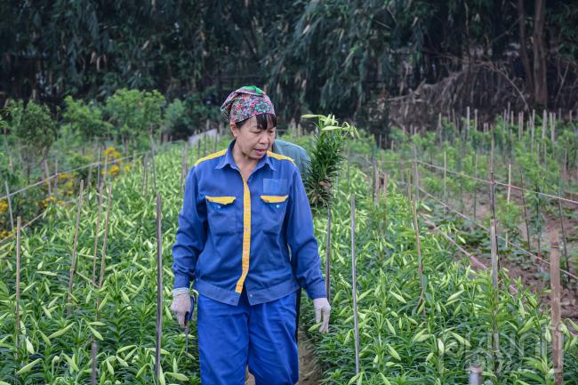 Cô Phạm Thị Loan đang bận rộng với công đoạn thu hoạch hoa loa kèn.