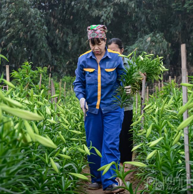 Công đoạn tìm kiếm hoa đến tầm thu hoạch được, còn cây nào còn non chưa đến tầm thì để lại chăm sóc cho kịp thời vụ.