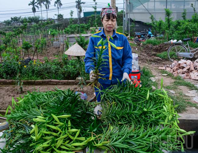 Hoa được phân loại cắt tỉa sắp xếp thành tường bó để kịp bán cho các thương lái bán buôn.