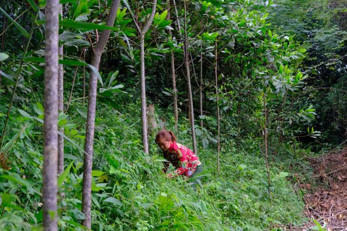 Chị Nông Thị Tám đang chăm sóc những cây keo của gia đình mình do Quỹ 1 triệu cây xanh cho Việt Nam và Vinamilk trao tặng.