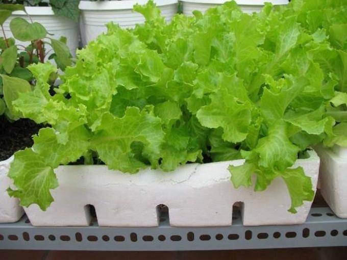 Cách trồng xà lách rất đơn giản và nhanh cho thu hoạch.