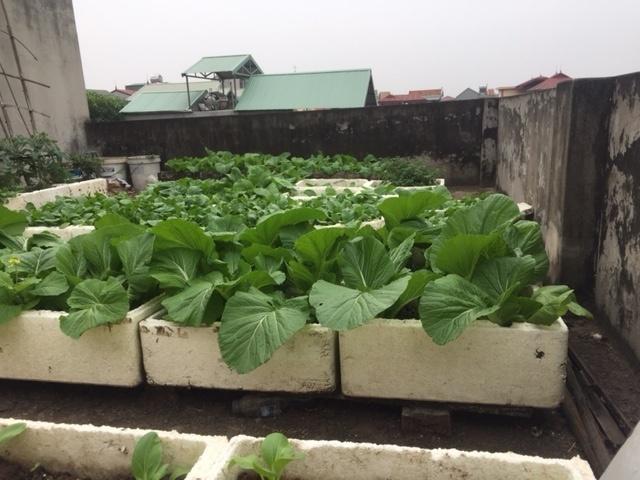Rau cảilà loại rau phổ biến được trồng vào vụthu đông.