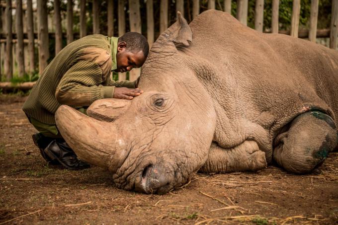 Một cậu bé đang an ủi con tê giác Sudan khi chú tê giác đang hấp hối. Sudan là con tê giác trắng Bắc Phi đực cuối cùng trên thế giới. Loài tê giác trắng chỉ còn hai con cái và đứng trước nguy cơ tuyệt chủng - Ảnh: Ami Vitale