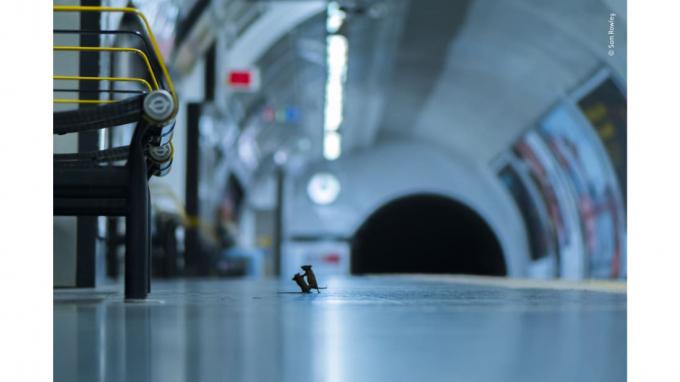 Hình ảnh có hai con chuột chiến đấu với một vài mẩu vụn còn sót lại trong một ga tàu điện ngầm củaSam Rowley đã được chọn từ hơn 48.000 hình ảnh để nhậngiải thưởng nhiếp ảnh động vật hoang dãtừ Bảo tàng Lịch sử Tự nhiên của London