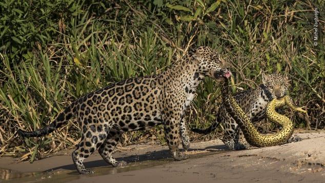 Bức ảnh hai con báo đốm đang giết một con rắn ở Brazilđược đánh giá rất cao