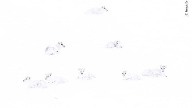 Bức ảnhcủa Francis De Andres về một nhóm tuần lộc Bắc Cực.