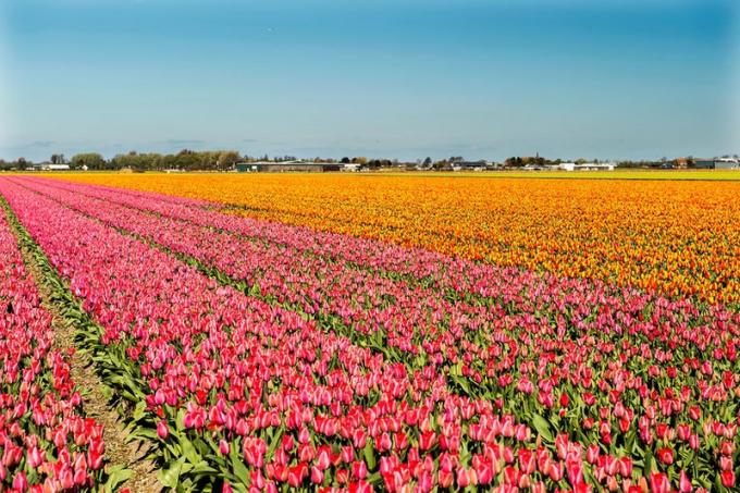 Vườn hoa Keukenhof, Hà Lan.Hà Lan luôn là một điểm đến yêu thích của du khách vào mùa xuân, nhờ những bông hoa tulip rực rỡ sắc màu nở rộ. Vườn hoa tulip Keukenhof trồng hơn 7 triệu bông hoa mỗi năm, với hơn 800 loại hoa tulip. Những cánh đồng hoa tulip màu hồng luôn khiến du khách ngất ngây.