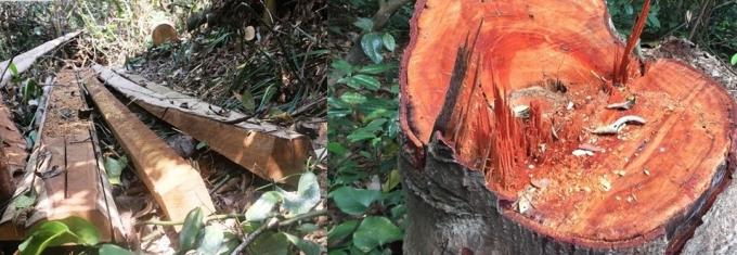 Hình ảnh khu vực rừng tại xã Xuân Chinh, huyện Thường Xuân bị lâm tặc tàn phá thời điểm tháng 4/2020