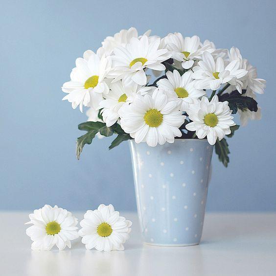 Hoa cúc loại bỏ amoniac, formaldehyde, xylene, benzene trong không khí.
