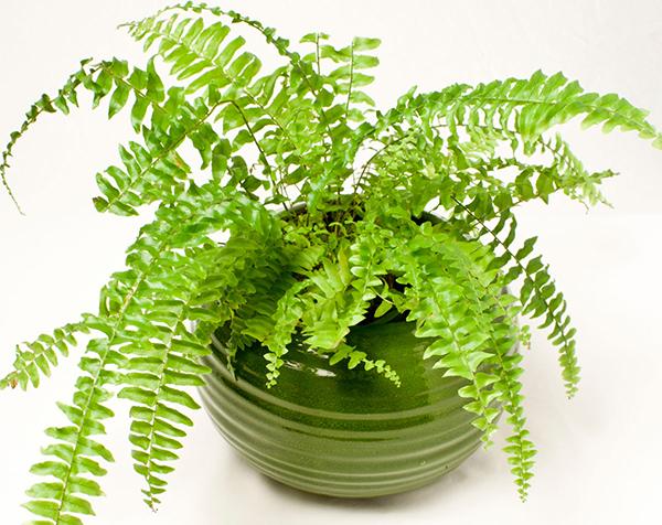 Cây dương xỉ có khả năng tạo độ ẩm và làm sạch không khí trong nhà.