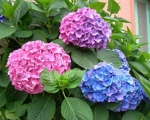 Hoa này gây đau bụng khi ăn phải, có thể bị ngứa da, nôn mửa, yếu ớt và toát mồ hôi, hôn mê, ngừng nhịp tim.