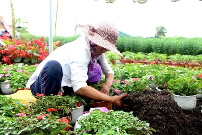 Người dân đang bón phân để thúc cho hoa ra đúng dịp tết.