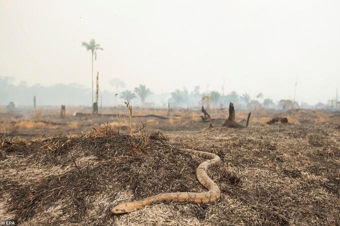 Một con rắn chạy qua những cánh đồng đã cháy trụi ở khu vực Rondonia, Brazil.