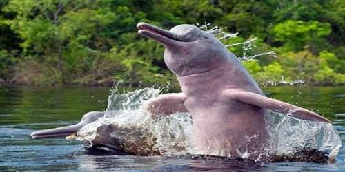 Cá heo hồng – Pink Dolphin hay Batos – được biết là loài cá heo thông minh nhất trong số các loài. Não chúng lớn hơn não người 40%. Chúng thân thiện, nhạy cảm và sống hòa hợp với con người trong nhiều thế kỷ, nhưng hiện nay các chuyên gia nói chúng đối mặt với nạn tuyệt chủng ở một số nhánh sông.