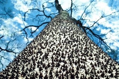 Cây Sandbox trong rừng Amazon. Loài cây này sở hữu chất độc và thường được những người thợ săn ở Caribbe sử dụng để tẩm lên đầu mũi tên. Quả của cây sẽ nổ tung khi chín để phát tán hạt trong bán kính 45m nên loại cây này còn có tên gọi khác là cây thuốc nổ.