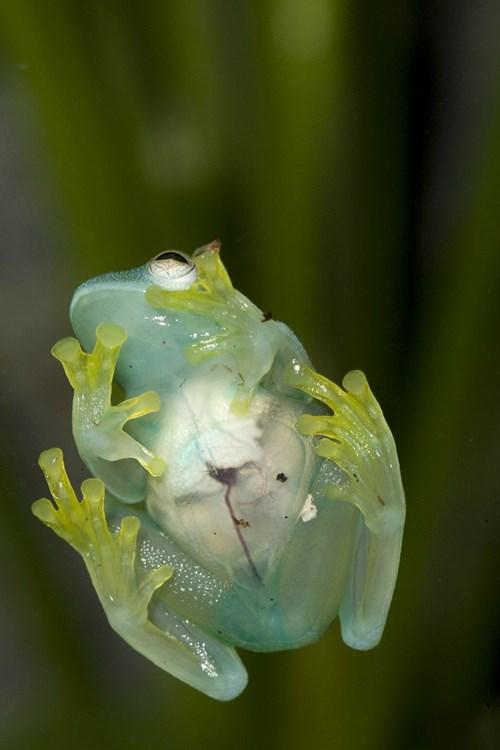Ếch thủy tinh (glass frog) thuộc họ lưỡng cư Centrolenidae, thường dài từ 3 đến 7,5 cm và chủ yếu hoạt động vào ban đêm. Chúng sở hữu lớp da dưới bụng khá trong nên có thể nhìn thấy tim, gan, đường tiêu hóa của chúng.