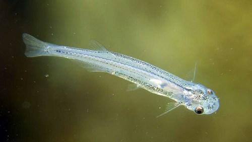 Loài cá nhỏ bé này có têncandirunày không hề thân thiện. Về bản chất, candiru thuộc vào họ cá da trơn nhưng chúng luôn sống bằng cách ăn thịt những con cá lớn hơn ở Amazon. Chúng cũng rất hiếu chiến và sẵn sàng cắn người nếu tình cờ đụng độ.