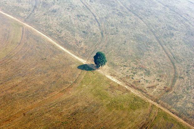 Một tán xanh nhỏ nhoi đơn độc trong khu vực từng là cánh rừng rậm rạp nay chỉ còn là đất do bị khai phá.