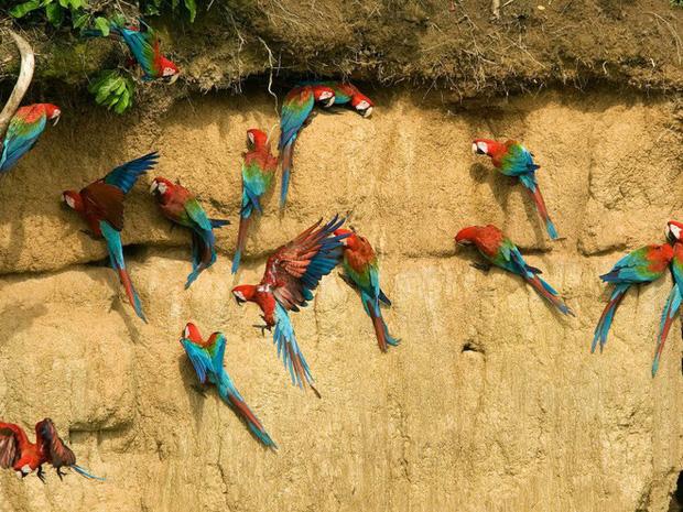 Vẹt xanh và đỏ trong khu bảo tồn sinh quyển Manu ở Manu, Peru.